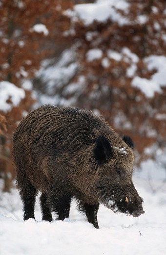 male wild boar in snow, Sus scrofa : Stock Photo