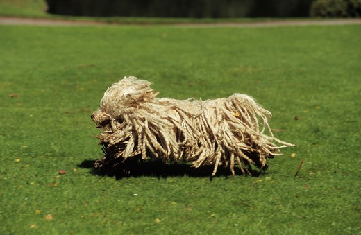 Stock Photo: 4279-7312 puli dog - running over meadow