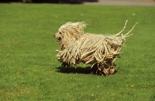 Stock Photo: 4279-7313 puli dog - running over meadow
