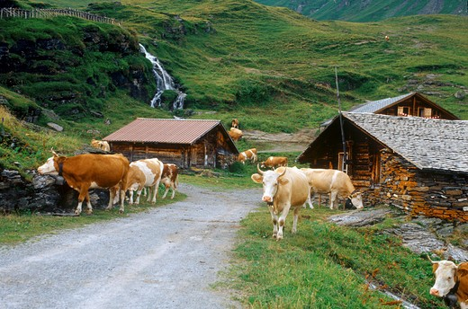 cows in front of cottages : Stock Photo