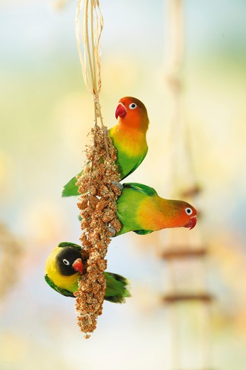 two Fischer's Lovebirds and one masked lovebird at millet spike, Agapornis personatus fischeri + Agapornis personatus : Stock Photo