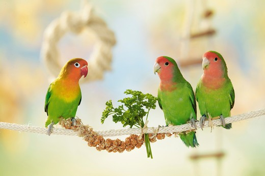 Stock Photo: 4279-7686 one Fischer's Lovebird and two peach-faced lovebirds on rope, Agapornis personatus fischeri + Agapornis roseicollis