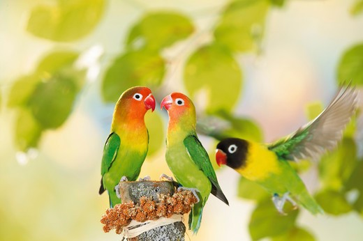 two Fischer's Lovebird and one masked lovebird, Agapornis personatus fischeri : Stock Photo