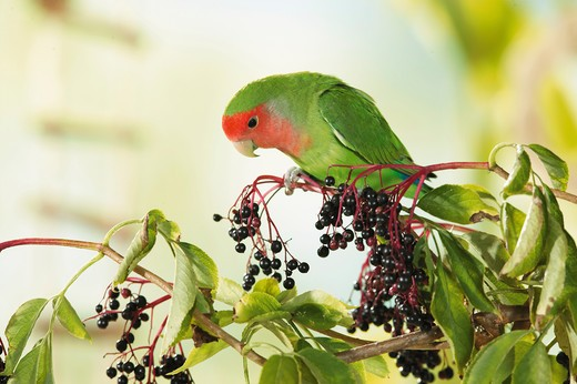Stock Photo: 4279-7708 peach-faced lovebird on branch at elderberries, Agapornis roseicollis