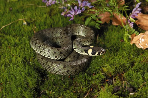 grass snake - lying on moss, Natrix natrix : Stock Photo