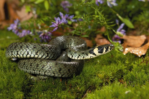 grass snake on moss, Natrix natrix : Stock Photo