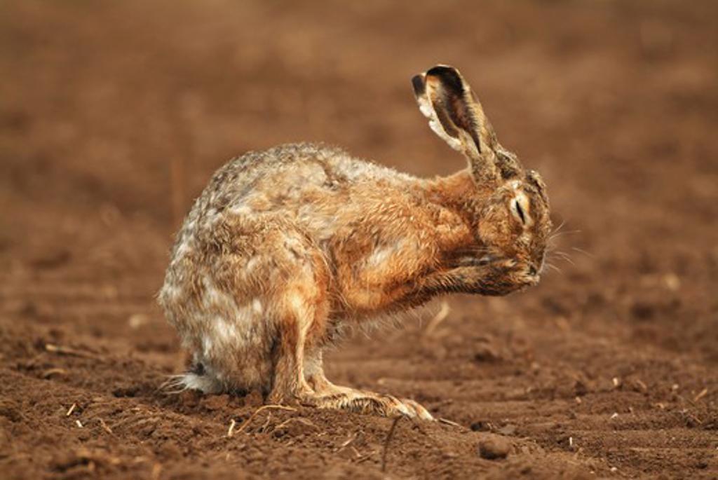 Stock Photo: 4279-7843 European hare, Lepus europaeus