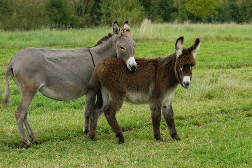 two donkeys - standing on meadow : Stock Photo
