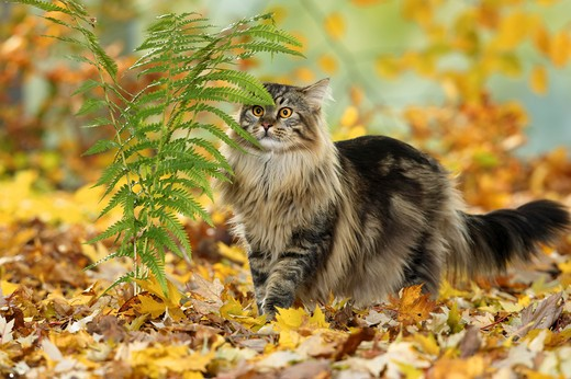 Maine Coon Cat in autumn foliage : Stock Photo