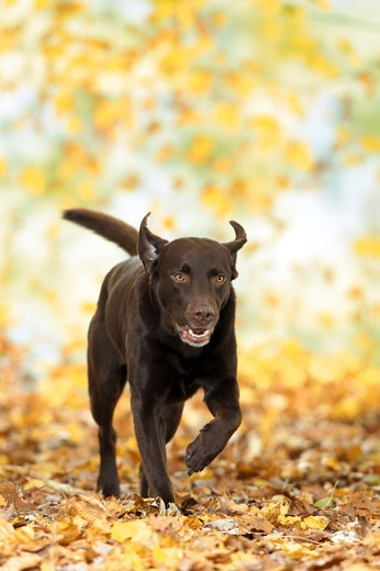 Stock Photo: 4279-8086 labrador retriever - running in autumn foliage