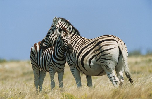 Stock Photo: 4279-8205 Burchell's zebra with foal, Equus burchelli
