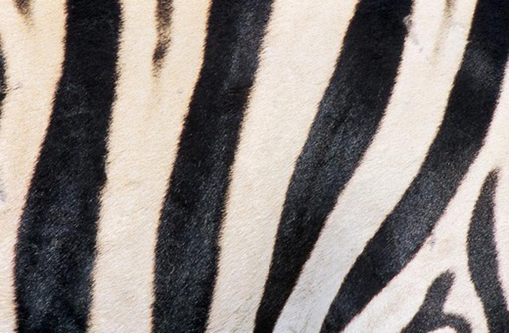 Stock Photo: 4279-8218 Burchell's Zebra - close-up skin, Equus burchelli