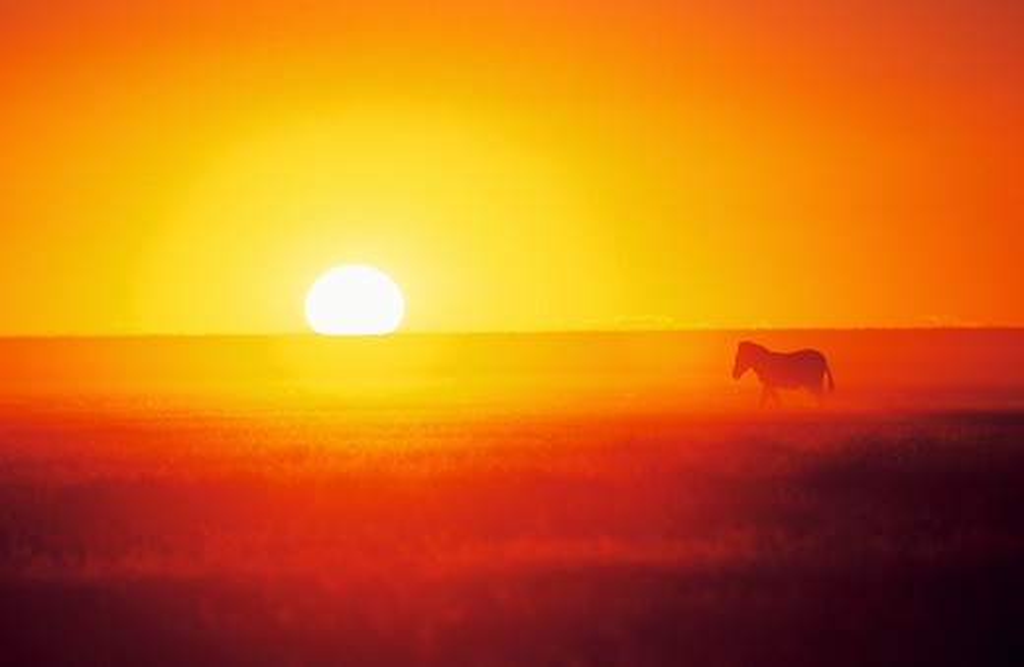 Stock Photo: 4279-8228 Burchell's Zebra in sunset, Equus burchelli