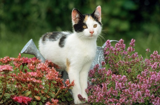young domestic cat standing between flowers over watering can : Stock Photo