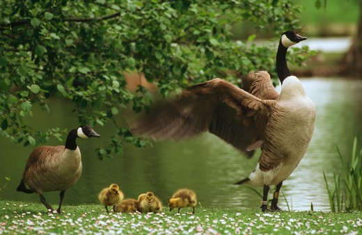 Stock Photo: 4279-8504 Canada geese with goslings, Branta canadensis