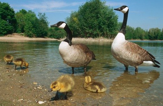 Canada geese with goslings, Branta canadensis : Stock Photo