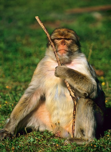 barbary macaque ( male ) - sitting on meadow with stick, Macaca sylvanus : Stock Photo