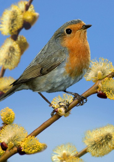 Stock Photo: 4279-8610 robin on branch with willow catkin