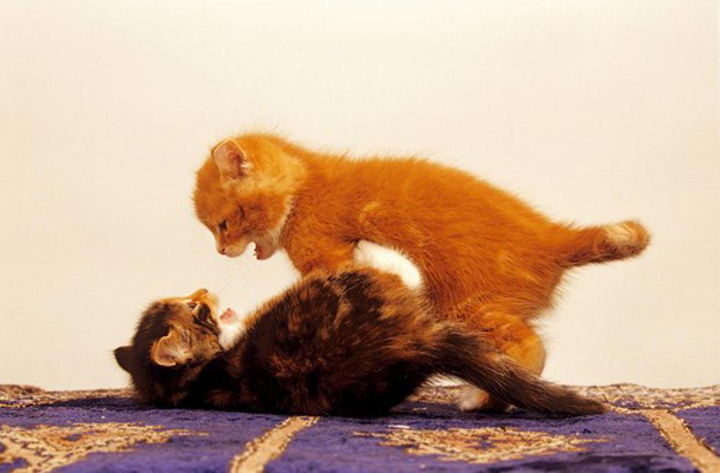 Stock Photo: 4279-8667 two kitten - playing