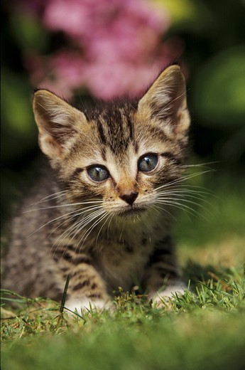 Stock Photo: 4279-8674 kitten lying on meadow