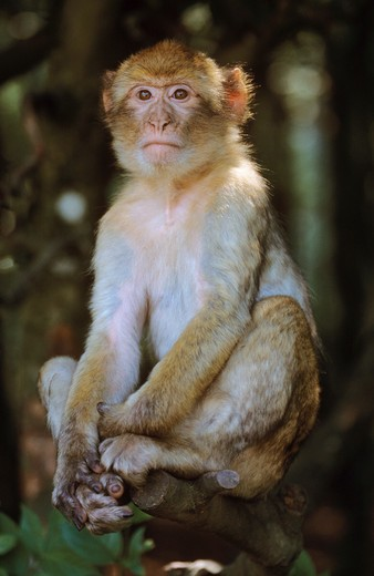 Stock Photo: 4279-8713 Barbary ape, Barbary macaque - sitting frontal, Macaca sylvana