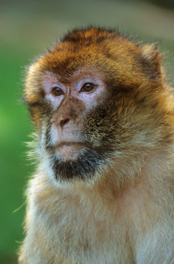 Stock Photo: 4279-8714 Barbary ape, Barbary macaque - portrait, Macaca sylvana