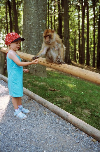 girl feeding Barbary ape, Barbary macaque , Macaca sylvana : Stock Photo