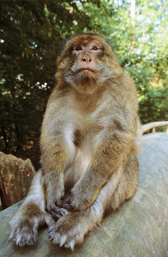 Stock Photo: 4279-8717 Barbary ape, Barbary macaque - sitting frontal, Macaca sylvana
