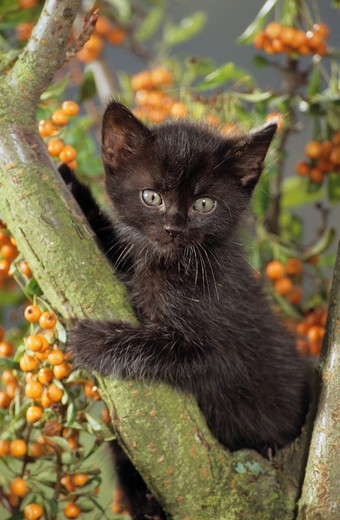 Stock Photo: 4279-8899 black kitten on tree