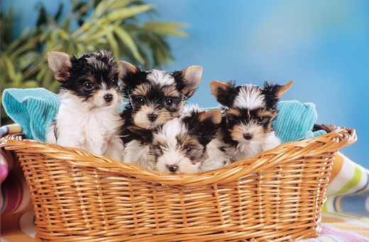 Stock Photo: 4279-9296 four Yorkshire Terrier puppies - sitting in basket