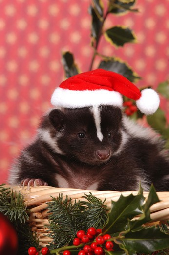 Stock Photo: 4279-9356 young striped skunk in basket with Santa claus cap, Mephitis mephitis
