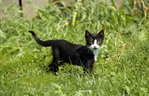 Stock Photo: 4279-9474 kitten - standing on meadow
