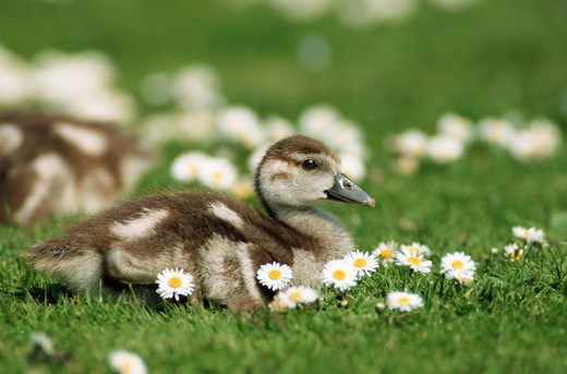 Stock Photo: 4279-9591 Egyptian goose - chick on meadow, Alopochen aegyptiacus