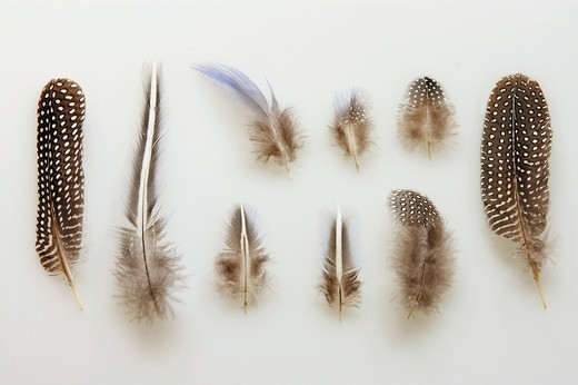 Stock Photo: 4279-9633 vulturine guineafowl - feathers, Acryllium vulturinum
