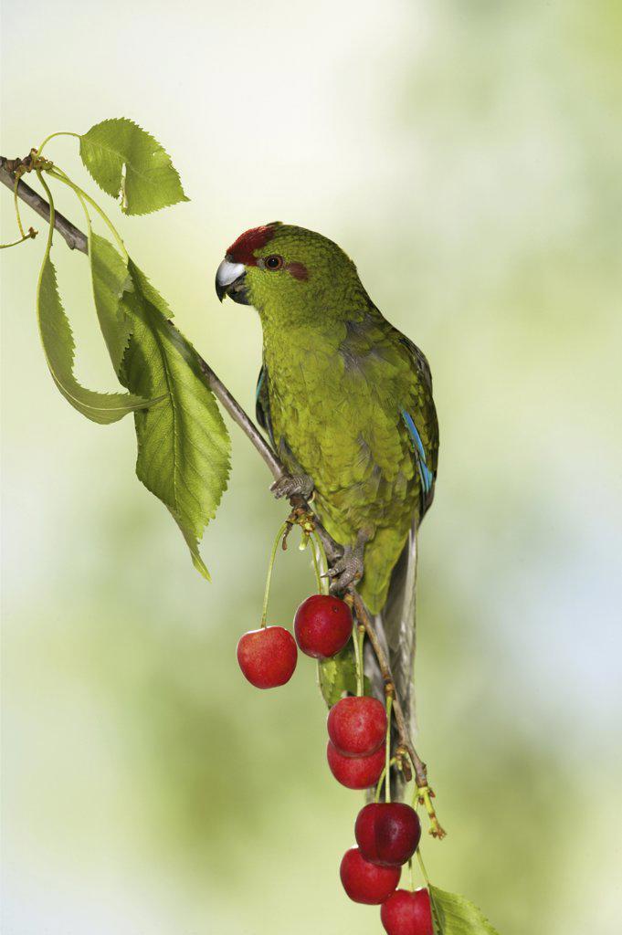 Stock Photo: 4279-9828 red-fronted parakeet on cherry twig, Cyanoramphus novaezelandiae