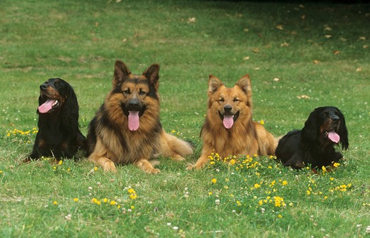 Stock Photo: 4279R-47359 two Gordon Setters , Old German Shepherd dog and Harz Fox on meadow