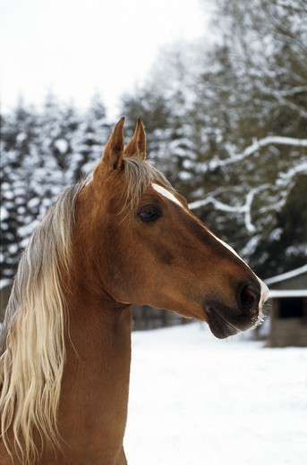 Stock Photo: 4279R-47388 American Saddlebred - portrait - snow