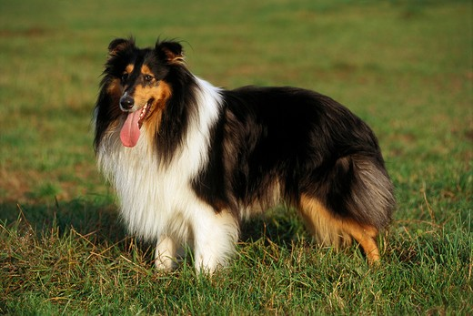 Stock Photo: 4279R-47603 Collie - standing on meadow