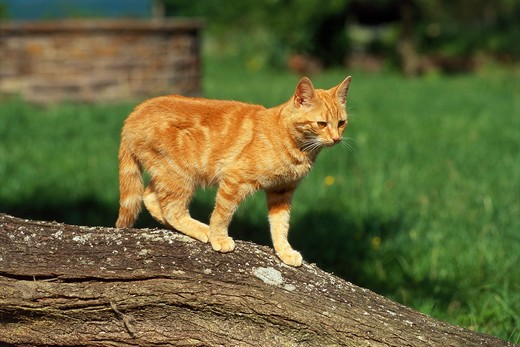 domestic cat - standing : Stock Photo