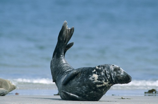 Stock Photo: 4279R-47996 gray seal , Halichoerus grypus