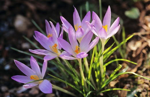 Stock Photo: 4279R-48048 Autumn Crocus , Colchicum autumnale
