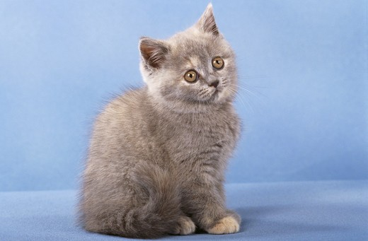 Stock Photo: 4279R-48083 young British Shorthair - sitting - cut out