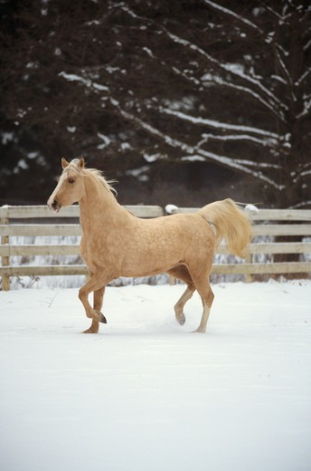 Stock Photo: 4279R-48166 American Saddlebred - trotting in snow