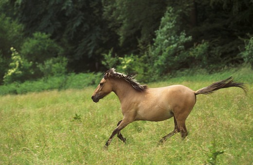 Stock Photo: 4279R-48171 Duelmener wild horse - running on meadow