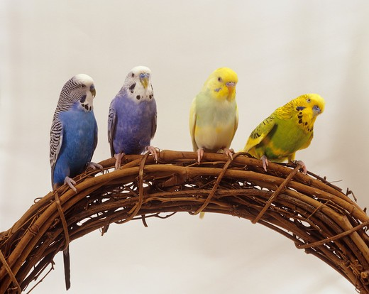 four budgerigars , Melopsittacus undulatus : Stock Photo