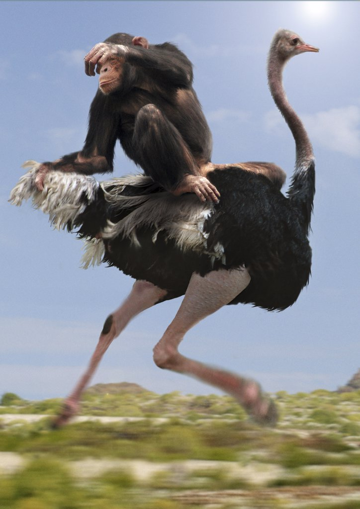 Stock Photo: 4279R-48574 chimpanzee on ostrich