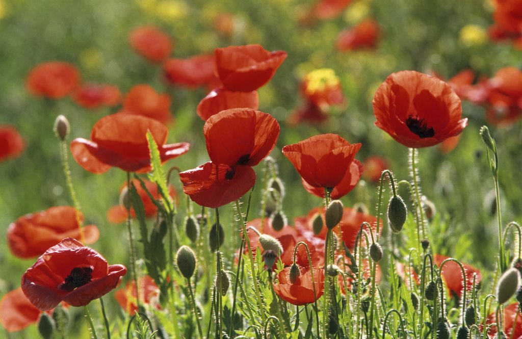 Stock Photo: 4279R-48666 field poppies , Papaver rhoeas