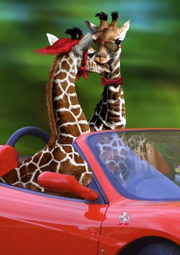 Stock Photo: 4279R-48919 two giraffes in a convertible