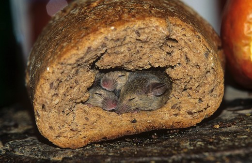 Stock Photo: 4279R-48966 three young mice - sleeping in loaf of bread