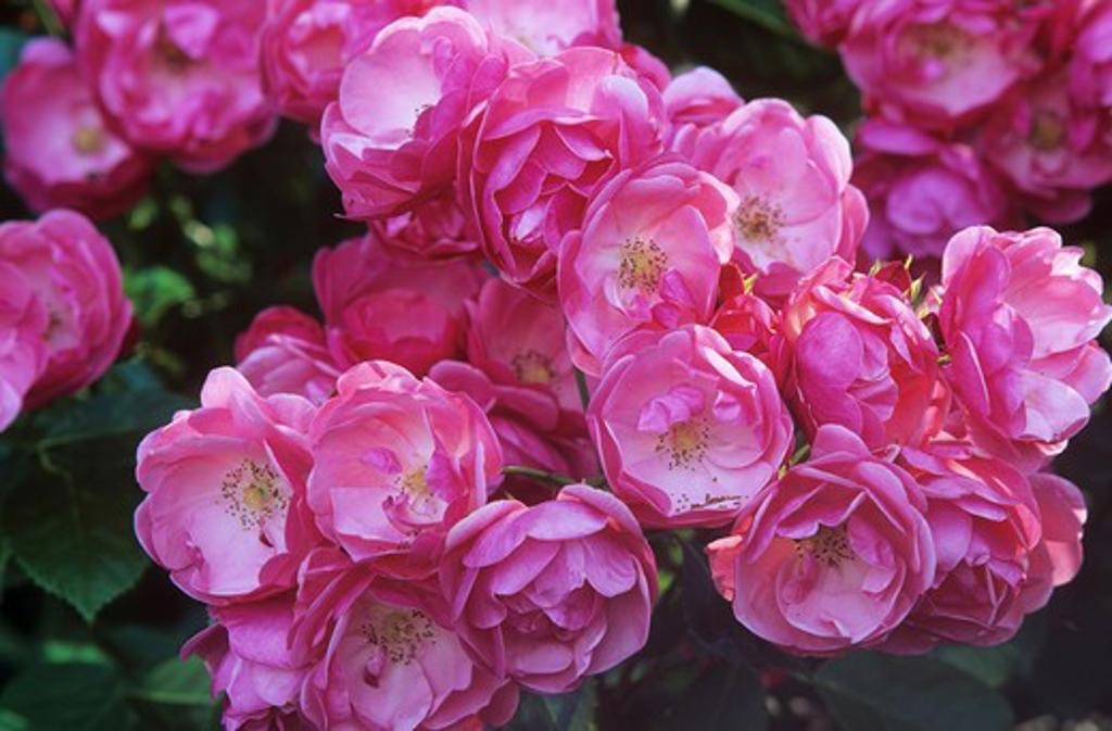 Stock Photo: 4279R-48973 dog rose , Rosa corymbifera